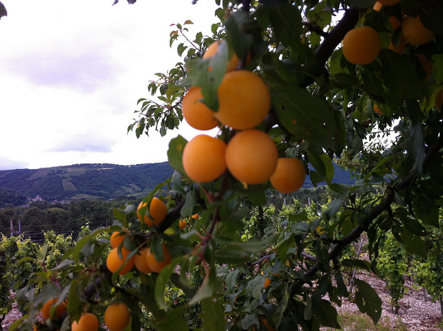 I want my apricots to be this fresh, this ripe, and this local. (Photo taken in the Drome, France. Photo by Toolmantim via Flickr.
